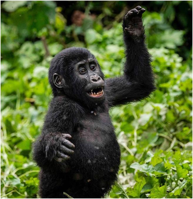 Leveraging many years of experience in Uganda Safaris operations, we specialize in tailor-made Uganda Rwanda.  More details   Visit us @ https://t.co/PDEd6IlQxU  #RwandaSafaris  #wildlife #explore #travelphotography #travelgram #travelholic #travelling #tourtheplanet #travel https://t.co/bDVCcqVHG9