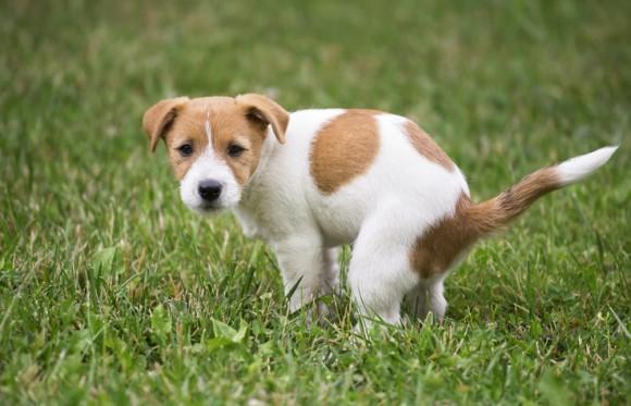 カラパイア : なぜ犬はうんちっちをする前にグルグル回るのか?体を地球の磁場に合わせていたことが判明(共同研究)