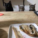 ホッケを食べようとするも・・・!猫たちの圧がすごくて食べるに食べられない?!