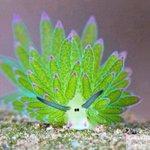 「海葉ナメクジ」こんなにかわいいナメクジ見たことない!