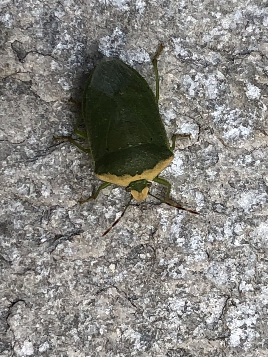 Green shield bug looking for another one of my plants to eat!!😂