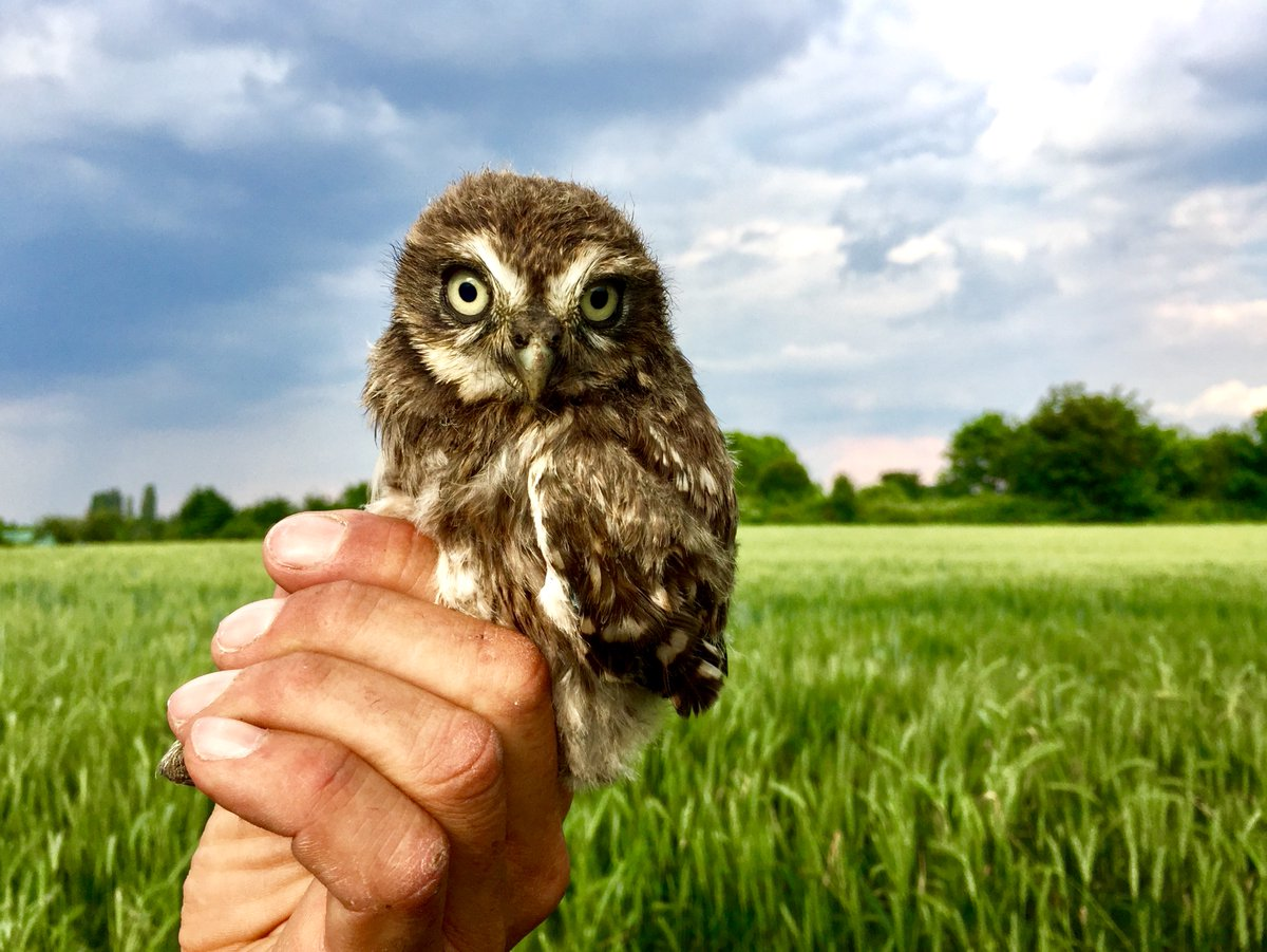 A blast from the past!  One of four cute juvenile Little Owls that were being ringed (banded) outside #Frankfurt, #Germany  May 2017pic.twitter.com/mfWvpeJ95L