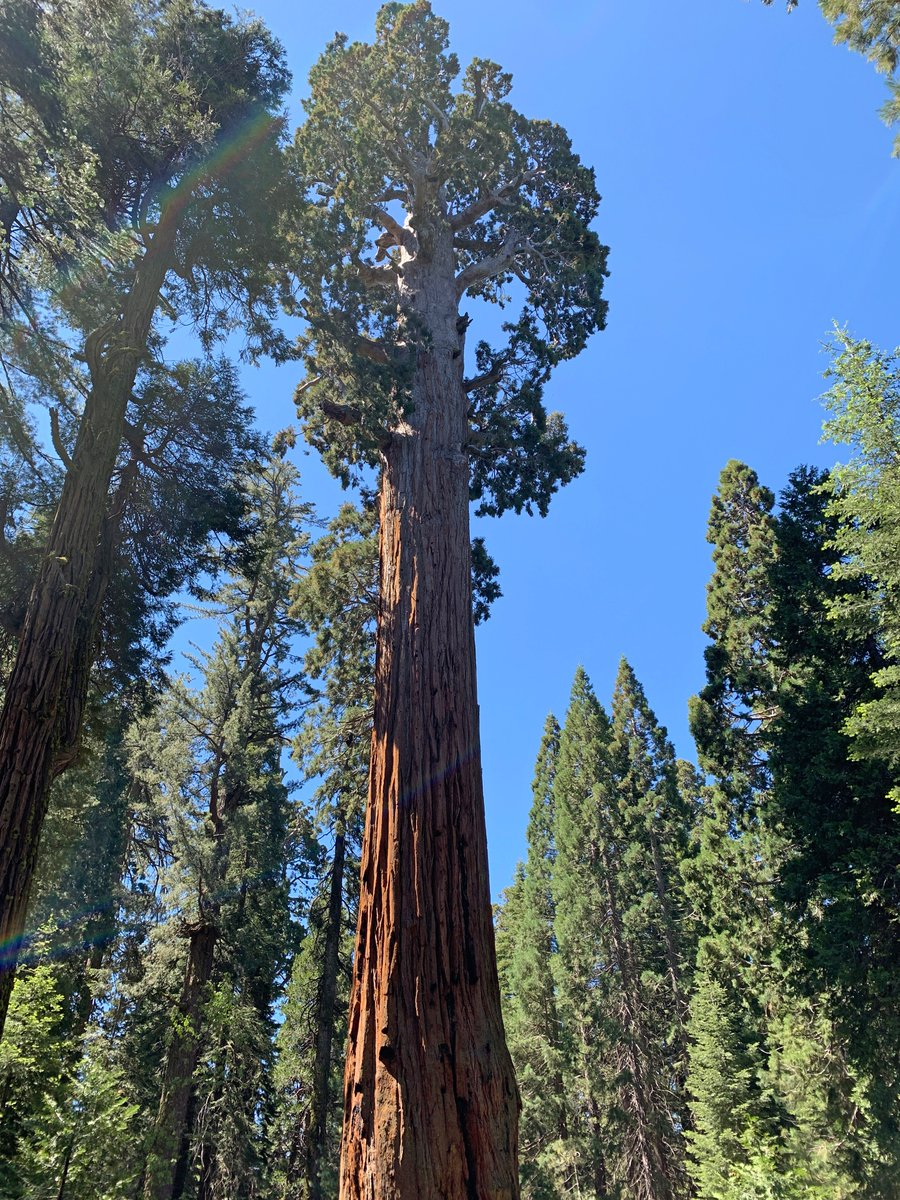 Day 8, Kings Canyon Natl Park: The General Grant Tree, the 2nd-largest tree in the world. About 1,650 years old, it is 267 feet tall and nearly 29 feet wide at its base. At 180 feet off the ground, it is still 13 feet wide. Story, photos, and video at mappingthepath.com/day-8-kings-ca…
