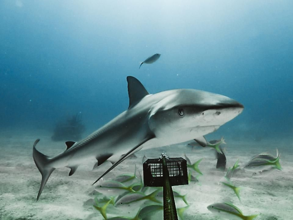 #sharks Are Becoming Functionally #extinct Around The World: https://t.co/L41Gndw8Tf  Since the #dinosaurs have roamed our planet, there have been sharks. They seem to have evolved to survive anything… except their most formidable opponent yet: us. #SharkFest #SharkWeek https://t.co/TrVOIuH8rr