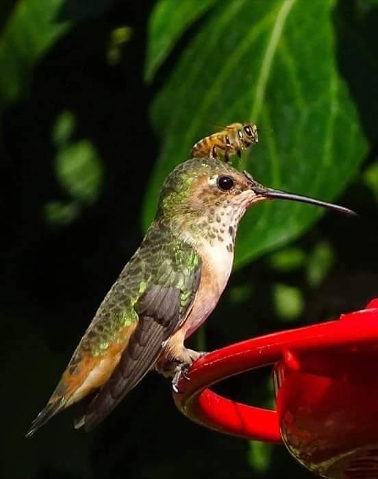 pipiyōlin ihuan huītzitzīlin en #náhuatl «abeja y colibrí» pic.twitter.com/Xb7gycjvX0