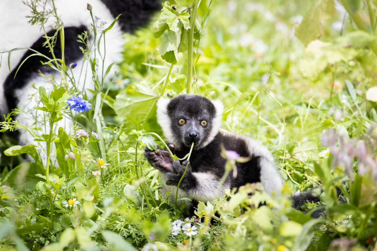 Born on June 6th these two critically endangered Black and White Ruffed lemurs still need a name and we're looking for your help to name them and be in with a chance to win an Annual Passe to Fota Wildlife Park.  Enter your name suggestion here -   https://t.co/ZIlG255CJB https://t.co/0ib7WWQVDY