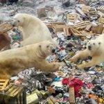 Image for the Tweet beginning: Polar bears' diet is 25%