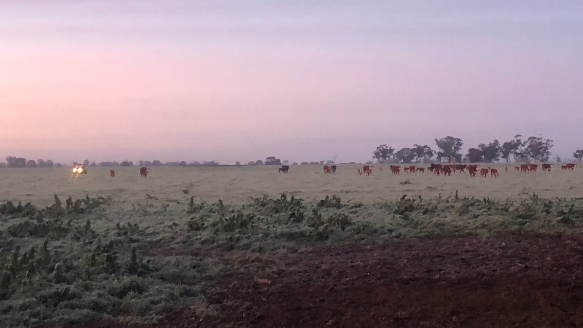 Cows on their way in for AI #frostymorning #dayswhiteface #herefordsaustralia https://t.co/lAJLSnEtgg