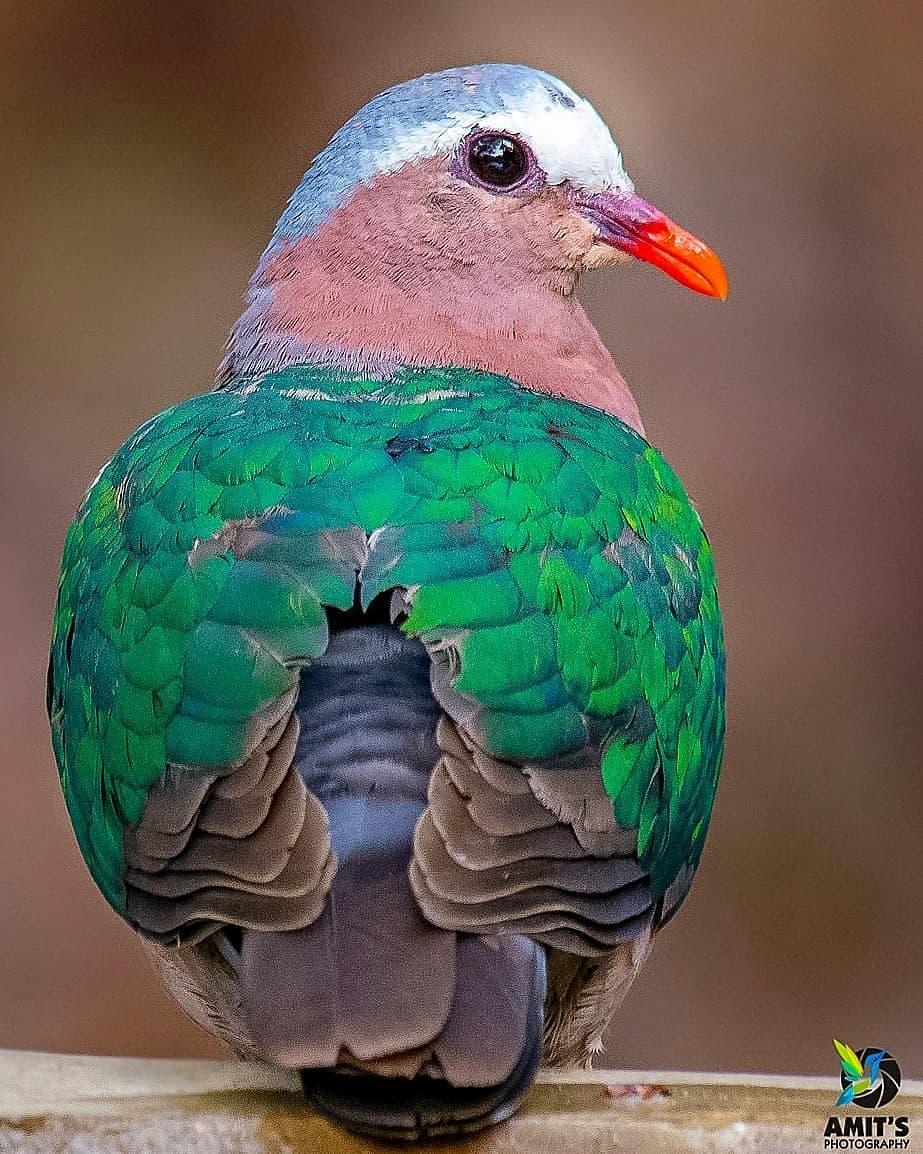 Emerald Dove    Photo by @amits_photos   #nature #NaturePhotography #naturelovers #birds #DimaRajapic.twitter.com/MWEv7S6ZJy