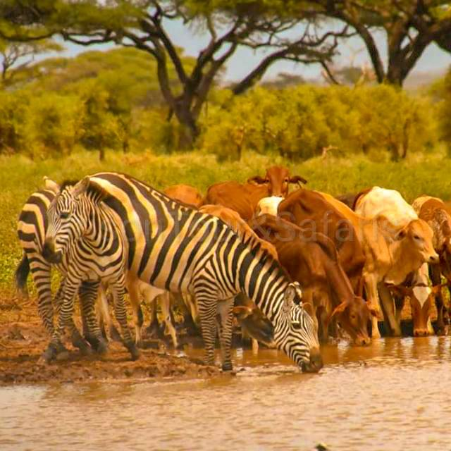 The Masai Mara's scenery is dominated by grassland savannah, but pockets of acacia woodland, riparian forest and rocky hills intersperse the plains. The Masai word 'Mara', meaning spotted, refers to these dots in the landscape.wildlife together with the Masai's cows. pic.twitter.com/xWVXWKS91v