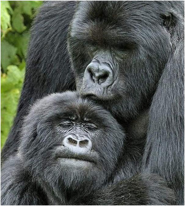 Brother and sister love and fighting are more adorable.  #wildlife #explore #travelphotography #travelgram #travelholic #travelling #tourtheplanet #travel #tour #tourist #tourism #uganda #ugandasafari #ugandatravel #gorillatrekking #gorillasafari #combinedtours #gorillatracking https://t.co/Rtq4glo287