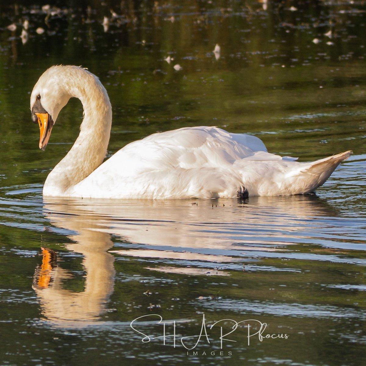 Mute Swan at dawn. North Wales. July 2020 Canon + Sigma lens 150-600 mm. ISO1600 f/6.3 1/600. #swan #muteswan #whiteswan #gardenbirds #ukbirds #ukgardenbirds #birdsuk #sharpfocusimages #ukwildlife #bbcspringwatch #rspb #northwaleswildlifetrust #rspbcymru #britishbirds #birds