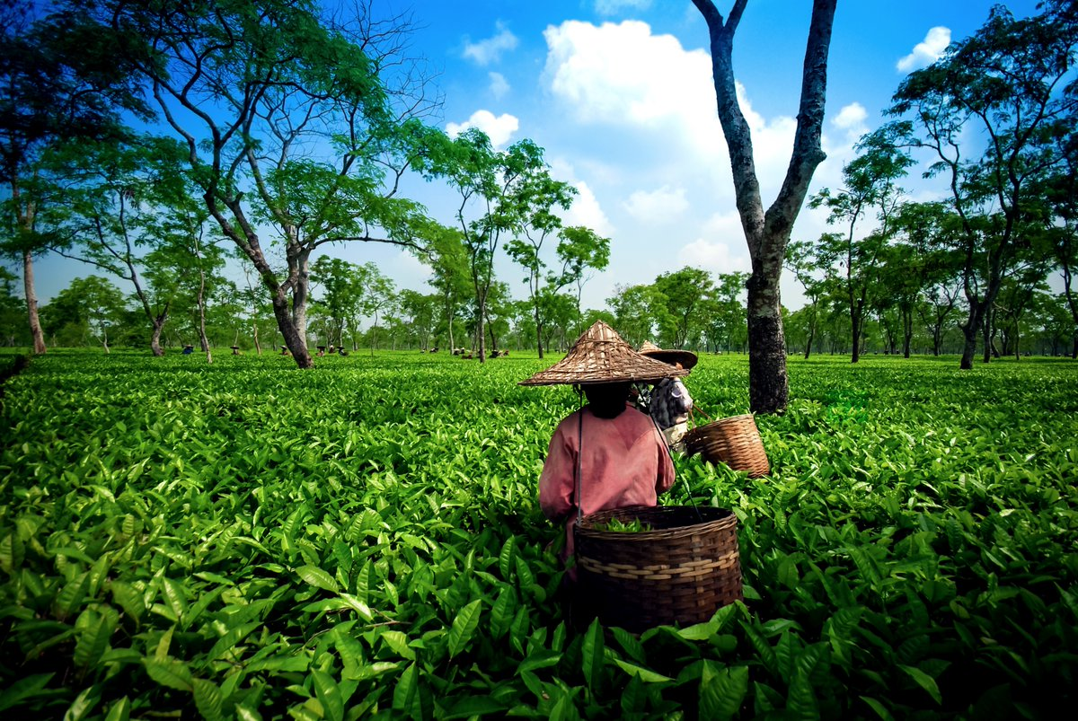 Sipping tea on a sun-kissed plantation in the Brahmaputra Valley among neat rows of tea bushes is much more than a refreshment: it's a connection to the earth and Assam's vibrant history...   Here's more reasons to visit India > https://bit.ly/2Xwkzsq #ad #wlii  @incredibleindia pic.twitter.com/UjQCz8Jj9p
