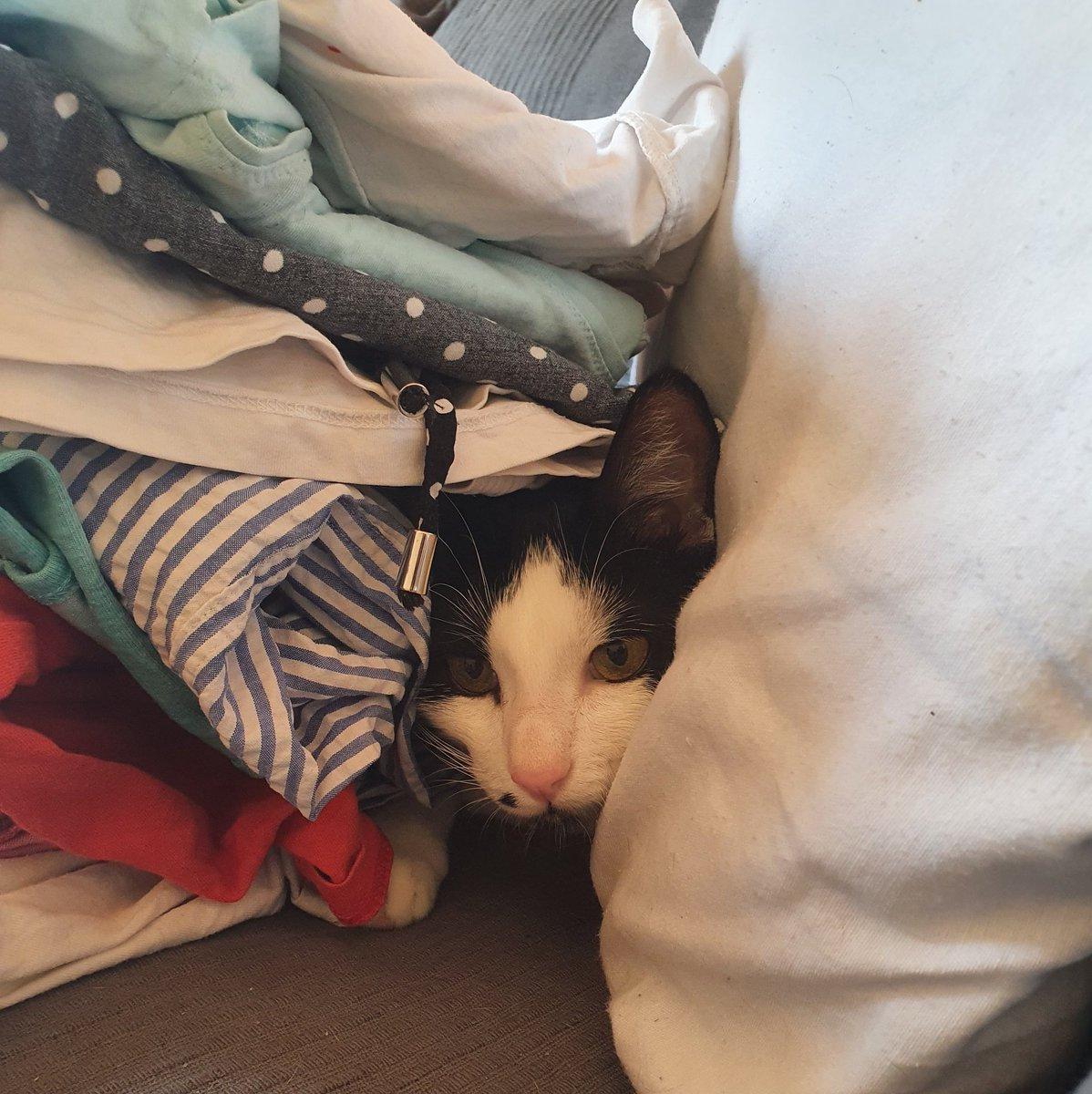Mamá, no le digas a Sherlock que estoy aquí, que estamos jugando al escondite.  #moriarty #AdoptaNoCompres #AdoptaParaTodaLaVida #AdopcionResponsable #gatos #gatosgraciosospic.twitter.com/yBEXuFniCs