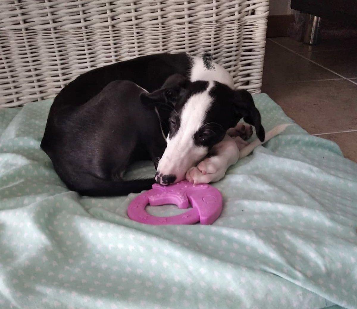 Luna es una perrita galga con 3 meses, es buena y se lleva bien con otros perros. Se encuentra en @apama_almunecar Te gustaría darle un hogar? Comparte y difunde! #AppAdoptMe #AdoptMe #adopcionresponsable #adopta #dog #adoptar #apppic.twitter.com/4PCgaTTqRp