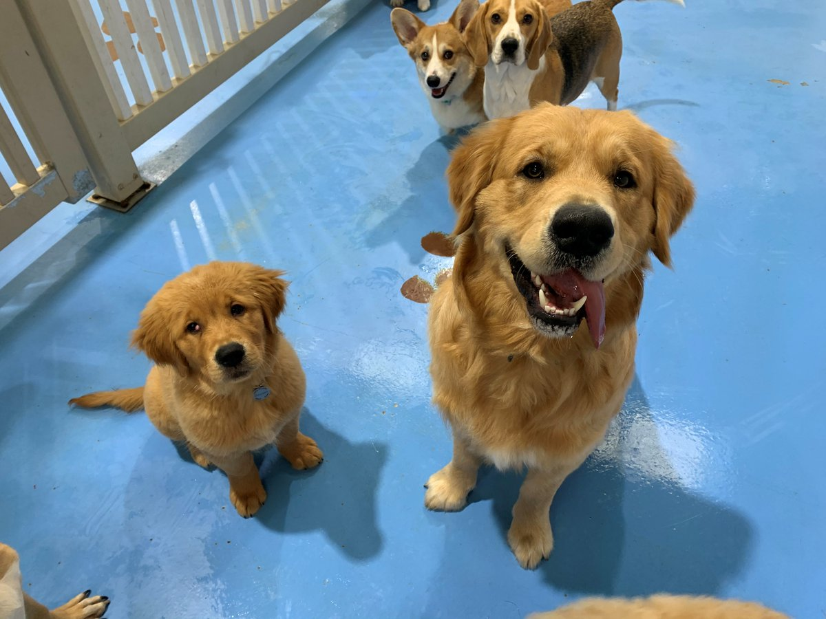 Just chillin' with my mini me! #Golden #dogsoftwitterpic.twitter.com/0SZQrqLX4z