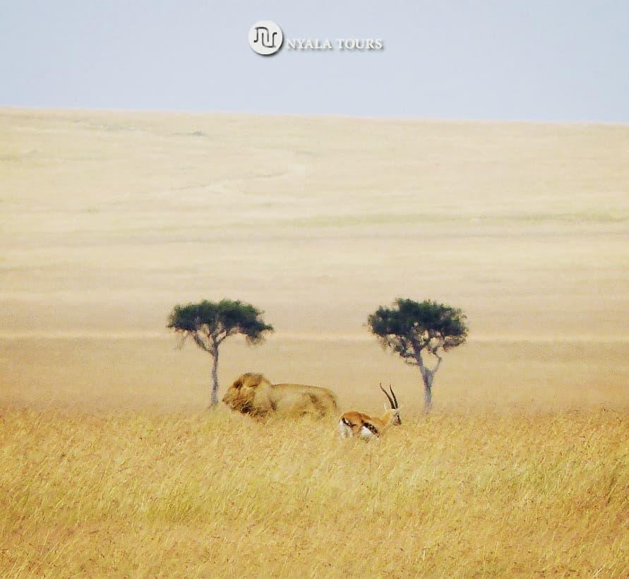 Walkaway Not Interested Sin Interés  #lion #leon Thomson's #gazelle gacela #savannah sabana planicie llanura #masaimara #kenya #kenia #africa #wildlife #instawildlife  #nature #animalsofinstagram #instanature #wildlifeplanet #bigcats #wildlifeconservation #wildlifephotographypic.twitter.com/0tVTeevSwU
