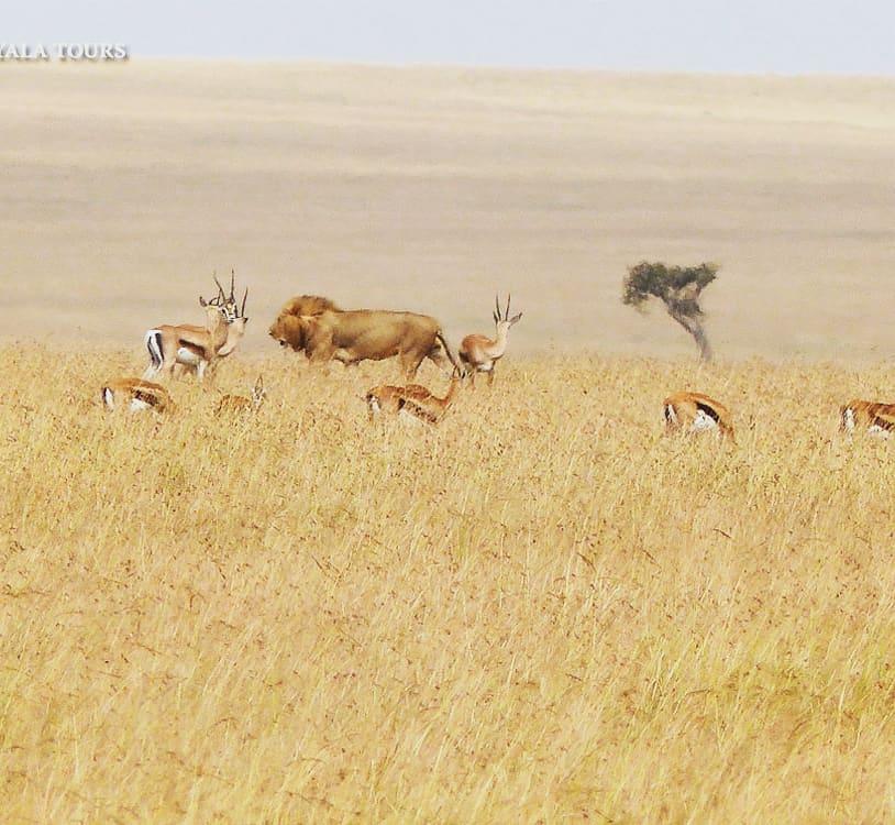 Walkaway Not Interested Sin Interés  #lion #leon Thomson's #gazelle gacela #savannah sabana planicie llanura #masaimara #kenya #kenia #africa #wildlife #instawildlife  #nature #animalsofinstagram #instanature #wildlifeplanet #bigcats #wildlifeconservation #wildlifephotographypic.twitter.com/vSfH4IC4H4