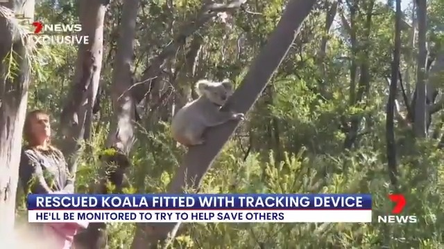 🐨 Koala rescued in Kirrawee and released in the @RoyalNatPark
