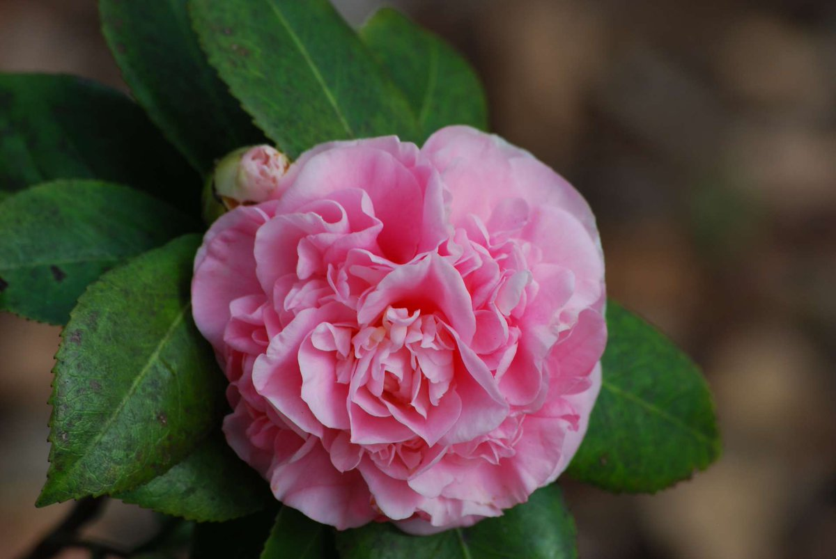 Blooms to behold: @WilmotGardens, the @UF College of Medicine's healing gardens and teaching laboratory, has been inducted into the American Camellia Trails Program, a national recognition held by only three gardens in the state of Florida. https://t.co/8tXupfFPzj https://t.co/6pvWx56GhG