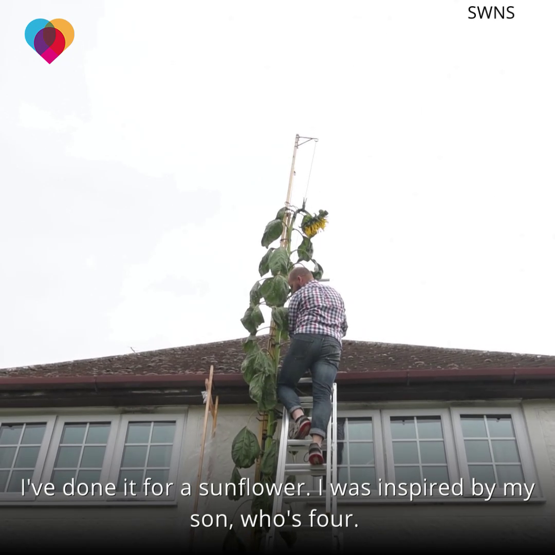His 4-year-old son asked him to grow a sunflower – so he grew one as tall as his house 💛 https://t.co/45U4A51X4X