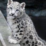 旭山動物園のユキヒョウのユーリちゃん。9ヶ月ですっかりお姉ちゃんになりました!