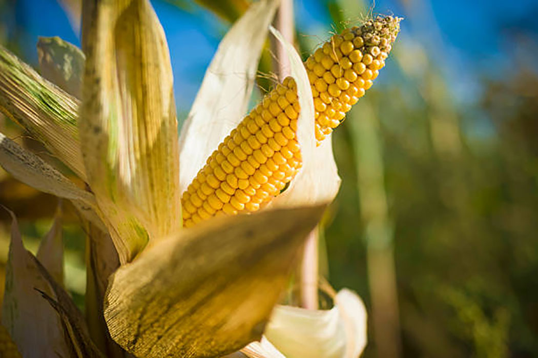 Mycotoxins are poisonous chemicals that can be found in some grain crops as a result of fungi growth. We chatted with experts from @IITA_CGIAR and @USAID about mycotoxins and the role plant science can play in reducing their risks. #FoodSafety #Mycotoxins https://t.co/O70miq0Xvc https://t.co/kHpzjzeFDK