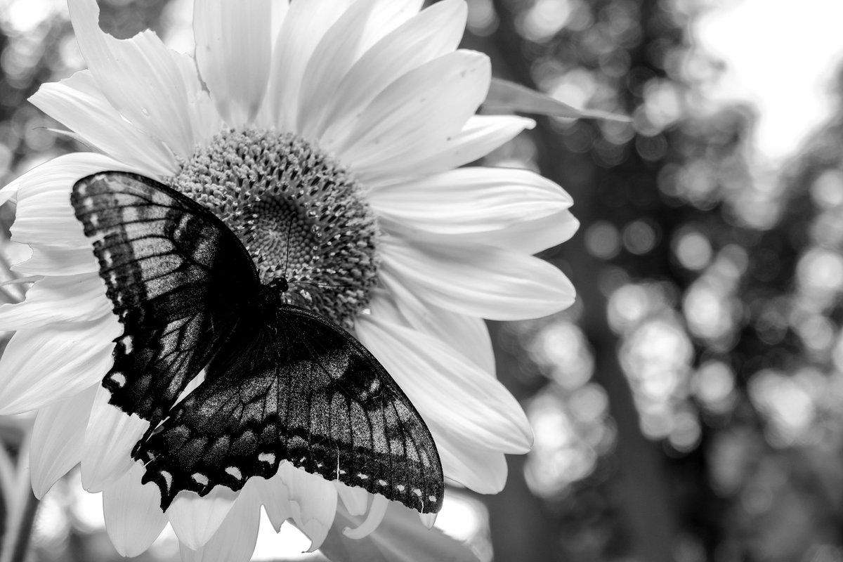 #blackandwhitephotography #photography #nature #naturephotography #fujifilm_xseries  The fragility of petals and wingspic.twitter.com/IAWAUZS9bt