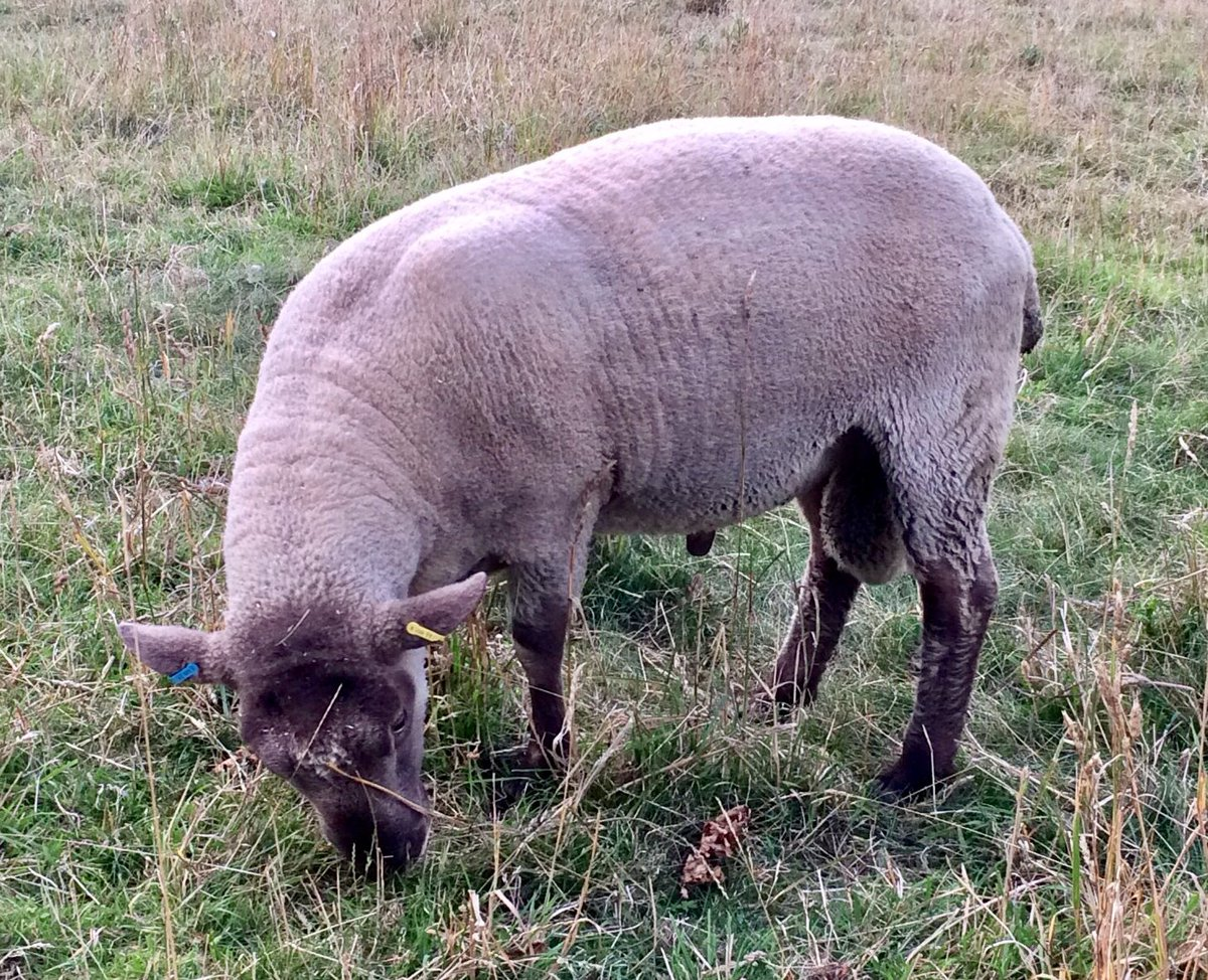#roussinsheep #roussin shearling rams available now. Choice of three. West Suffolk