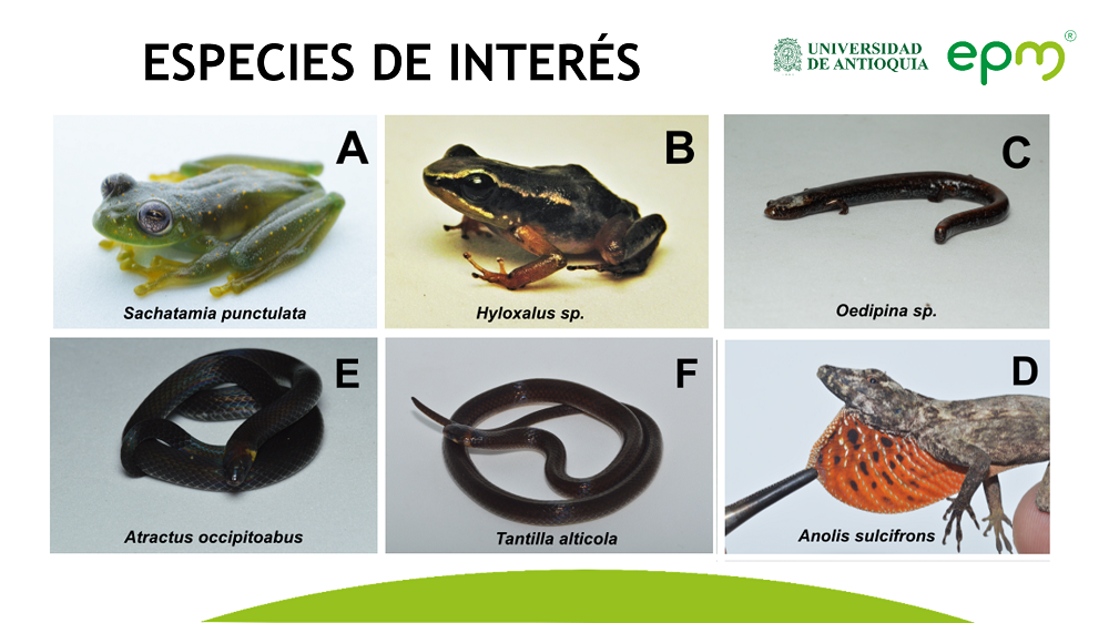 📌#VuelveALeer sobre el hallazgo de 14 especies endémicas en las zonas de influencia de cinco grandes embalses de #Antioquia, gracias a un convenio entre la #UdeA y #EPM para la gestión integral de la biodiversidad en el departamento. 🔗 https://t.co/byASzcVvbV  #65AñosEPM https://t.co/odtiGYYKWa