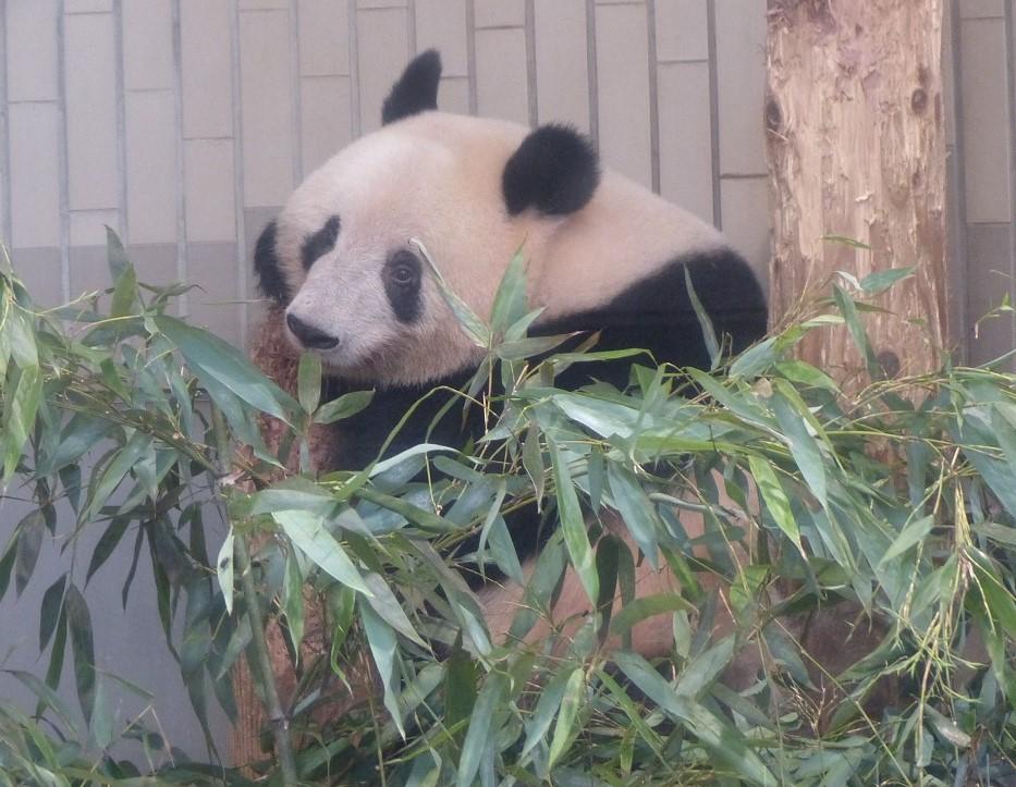おはようございます。 今日も #ジャイアントパンダ は元気です。  #1枚目からシャンシャンリーリーシンシン #モーニングパンダ https://t.co/WL9kMy6SVz