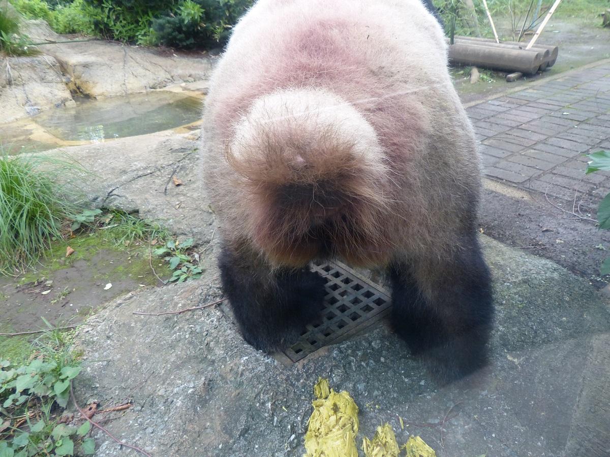 しっぽをグッと上げたら、うんこタイム。 今回は #ジャイアントパンダ の糞の中身をズームアップ!  #ZOOむあっぷ観察 #写真は7月に撮影 https://t.co/CNWTOimZTQ