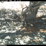 Happy campers: A Chiming Wedgebill (Psophodes occidentalis) foraging under an Inland Rosewood (Alectryon oleifolius) ... with a lizard hanging-out in the branches just centimetres above its head Hamelin Station Reserve #MalganaCountry @BushHeritageAus #SantalaceaeScience @ilwscsu