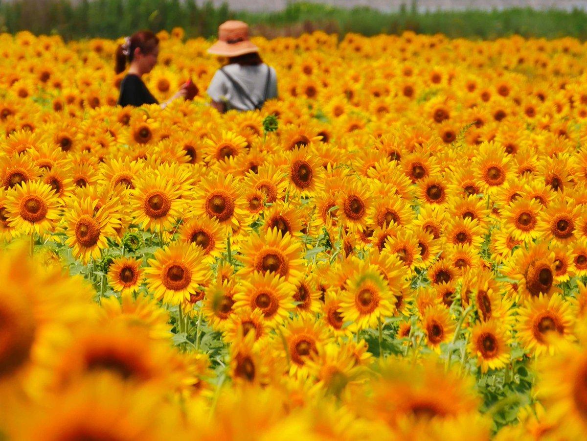 数万本のひまわりで埋め尽くされた、山陽小野田市のシステム農場「花の海」の畑。パワー全開、夏真っ盛りという感じです(^^)