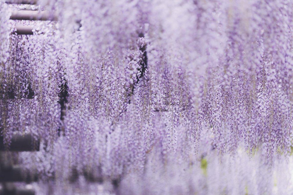 8月7日 #花の日藤、凌霄花、白花曼珠沙華、梅