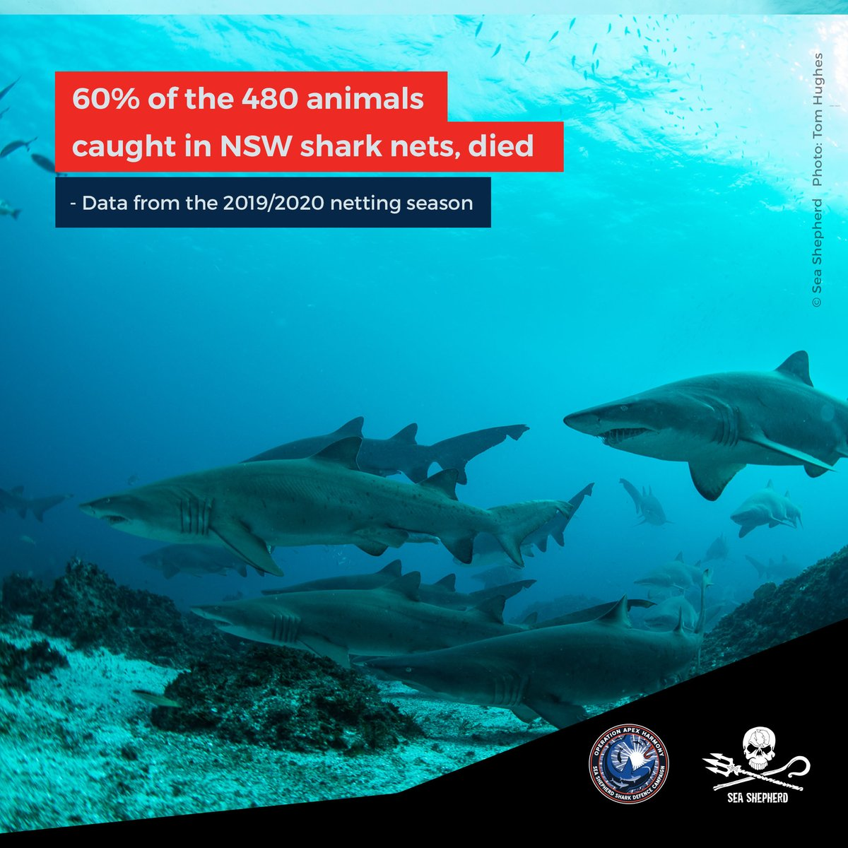 Dolphins, turtles & endangered grey nurse sharks are just a few of the species that were killed by NSWs shark netting program between September 2019 and April this year.  Of the 480 animals trapped last season, only 50 were targeted species. Learn more http://ow.ly/Kp9Y50APTImpic.twitter.com/6ZDFEqJ2hV