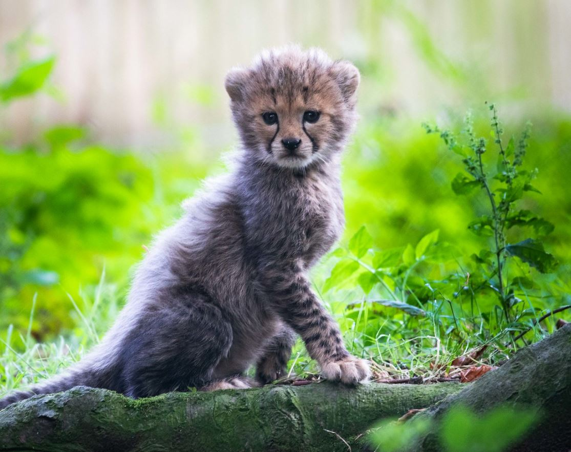 Announcing three new endangered Northern cheetah cubs - and we're looking for your help to name them - please enter via our blog & don't forget to pre-book online if you would like to visit! https://t.co/ctBNa8RXgp #Fota #NorthernCheetah #PureCork #IrelandsAncientEast #CHI https://t.co/OYKEImQGQs