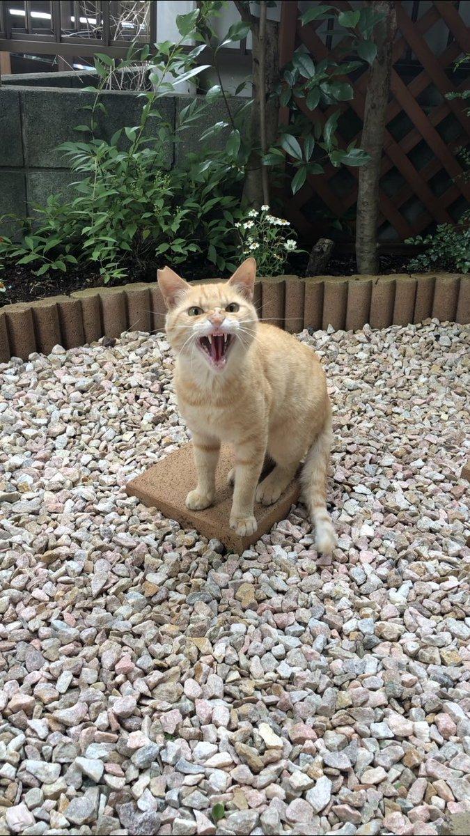 シャー顔猫のミネ君の動画をアップしました。1分半程度の短い動画で6シャーもやってます。これはもうシャー顔福袋。動画の説明文もお読みいただけると幸いです。庭にシャーシャーな猫ちゃんが遊びに来たので交流してみた