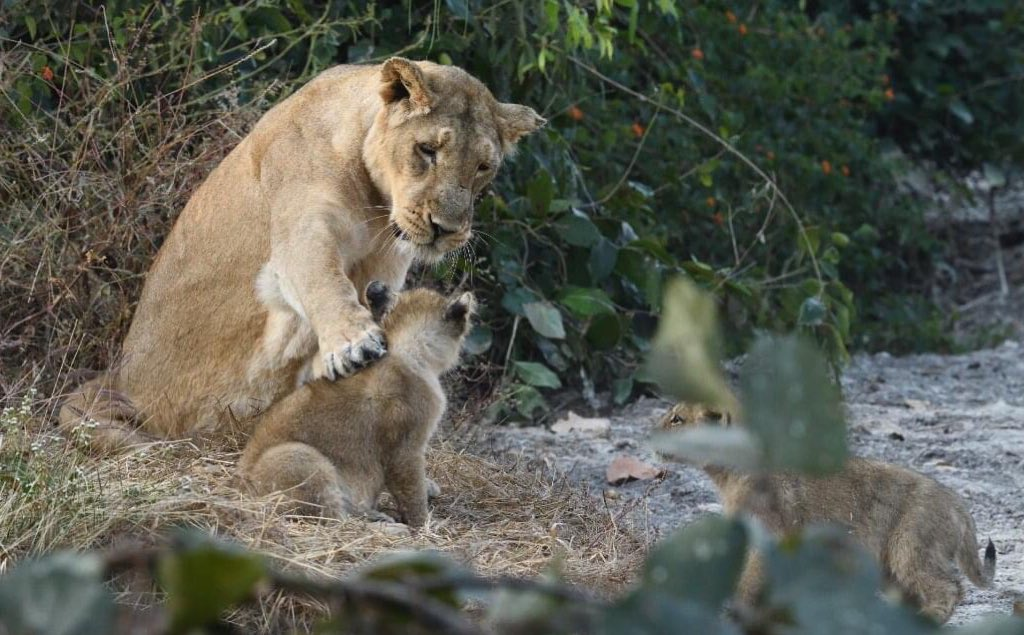 Guess what they must be talking about. On 10th celebrate #worldlionday2020 @dcfsasangir https://t.co/4ptN2ha7bq