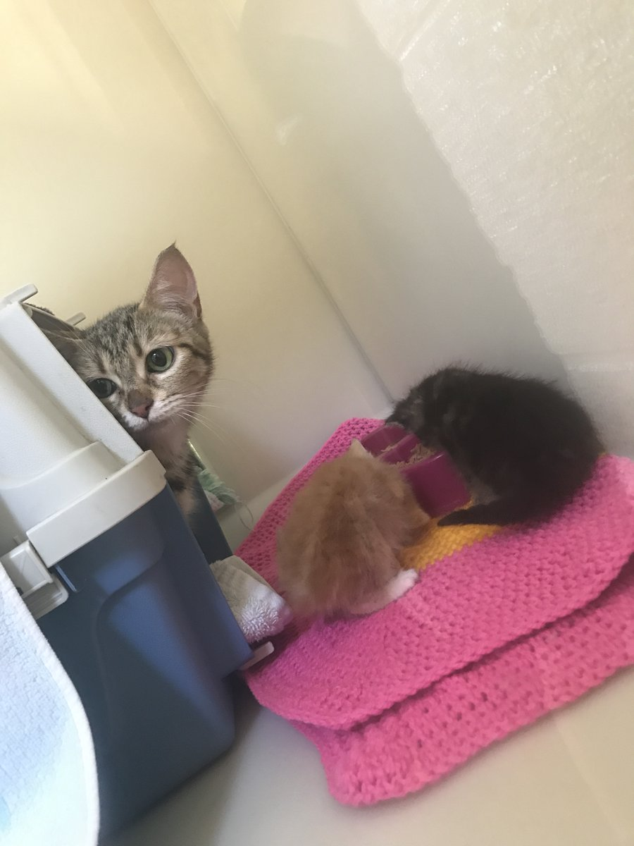 @HantsPolice called for help after a #cat was found in the home of someone who had sadly passed away. Little did we know that she also had #kittens! This trio are now settling in at @RSPCA_TheArk 29 💕 rspca.org.uk/whatwedo/care/…