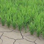 田んぼの中の水がなくなっていても心配なし!稲を育てるに、必要な工程の「中干し」!なるほど、知らなかった。