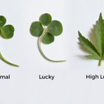 Image for the Tweet beginning: #cannabis #weed #marijuana CATCH 22