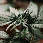 Image for the Tweet beginning: #cannabis #marijuana #weed Oakland's cannabis