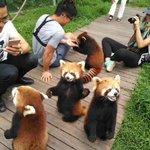 世界中に広めたい!?レッサーパンダの可愛さを見て!