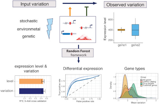 Our newest work, driven by @olga_sigalova reveals genomic features that make a gene highly responsive to any type of environmental or genetic perturbation. Keep in mind when doing DE experiments! @generegulation https://t.co/sI6d2RJCwB