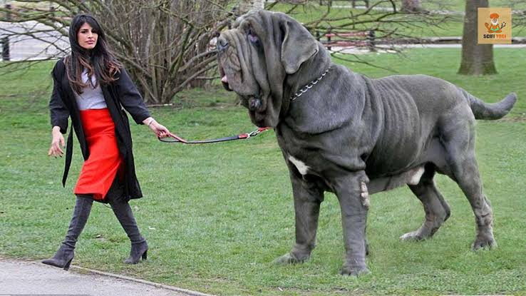 """BIGMOZEL - TOP 10. 🍬♥️ on Twitter: """"5. Neapolitan Mastiff This is an  Italian breed of large dog. It descends from the traditional guard dogs of  central Italy. It was recognised as"""