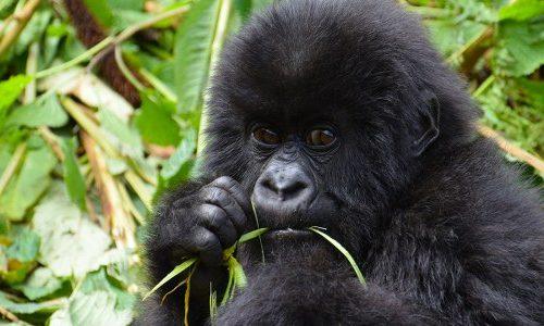 "Gorilla Trekking in #Rwanda is the highlight of all wildlife safaris to the ""land of a thousand hills"" https://t.co/ofuAKqZnEE #visitrwanda #gorillatrekkingrwanda #gorillasafari #juvenilesafaris https://t.co/hn8J8dbYkE"
