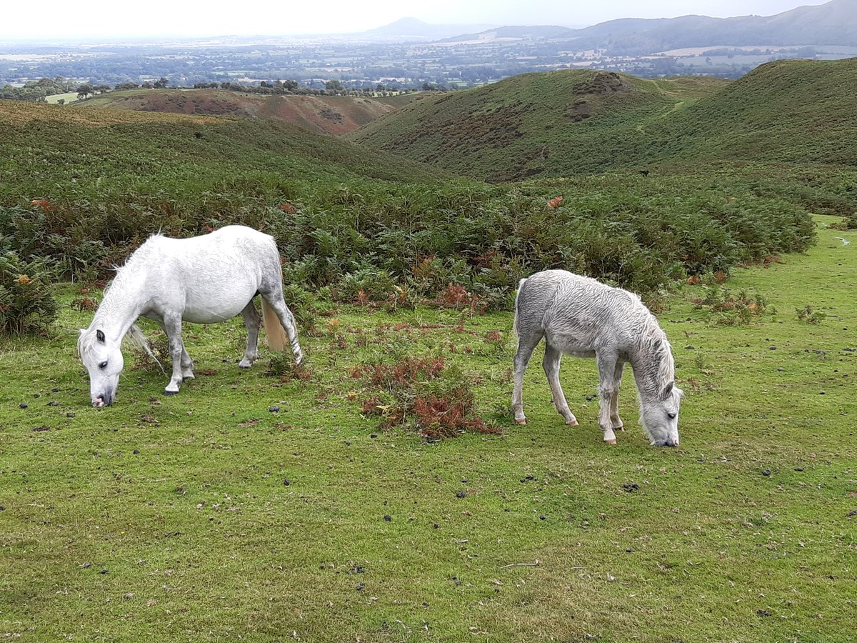 Wild pony and foal on the Long Mynd Shropshire. https://t.co/2Uz1ZvINzj