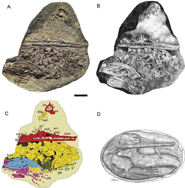 Pictures, Diagram, and Drawings of the Mesosaur Embryo.  Image by Piñeiro et al. 2012