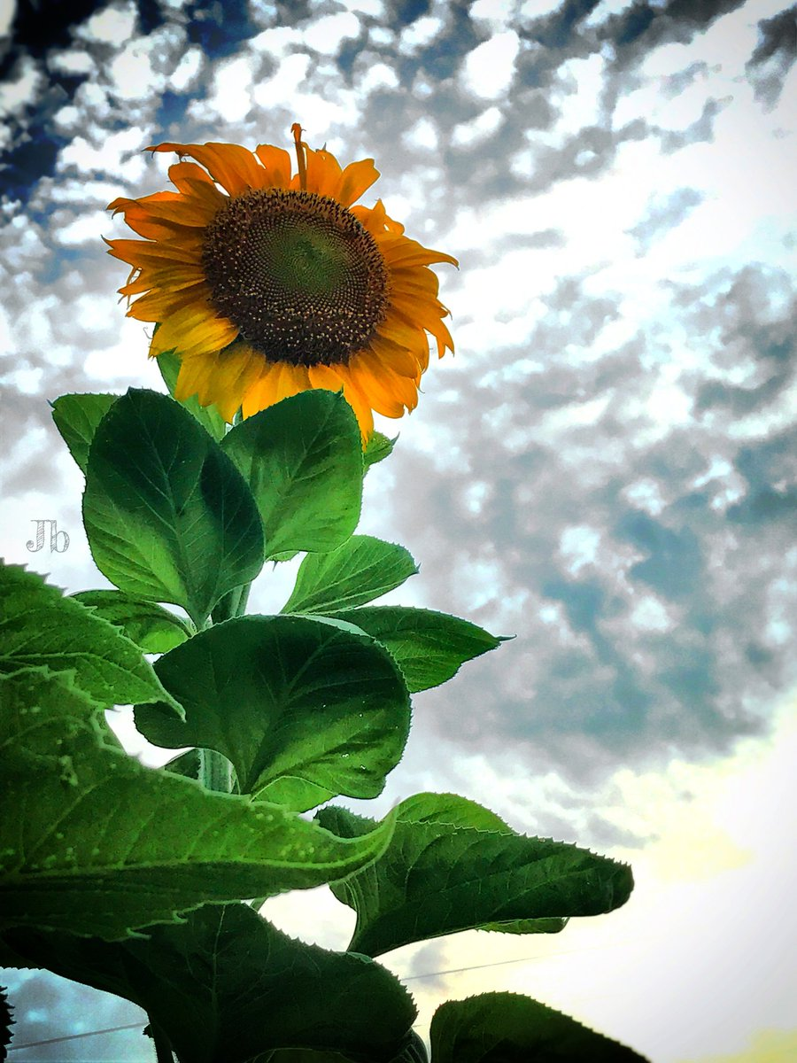 #sundayvibes #photo #Sunflowers #SunflowerChallenge #photography #PictureOfTheDay #phones #CountryOverParty #Texas #sky #art https://t.co/EHc2OYS8K0